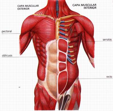 El sistema muscular p gina 2 for H e m interno